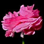 Fuchsia Ranunculus ~ Floral Still Life