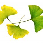 Ginkgo Leaves – Still Life Nature