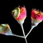 Eucalyptus Blossoms ~ Still Life Australian Flora