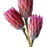 Pink Protea Trio