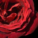 Red Rose ~ Romantic Floral Print
