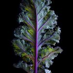 Kale Leaf ~ Still Life Food Photography