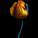 Yellow Poppy Bud