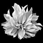 Black And White Dahlia