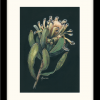 Afterlife Of A Mink Protea In Frame New