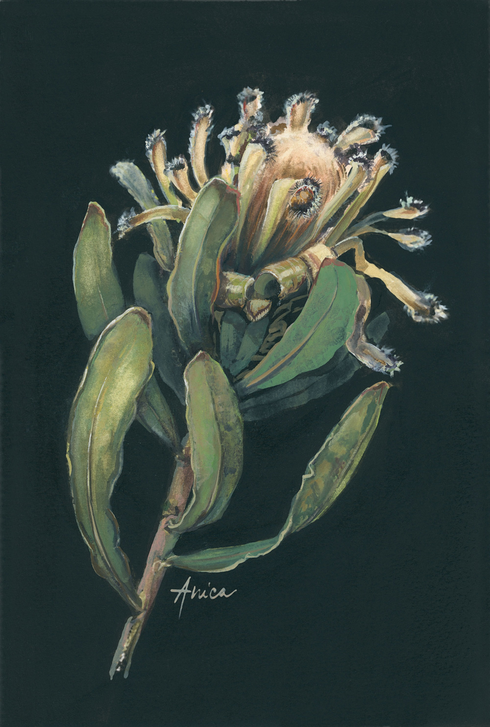 Afterlife Of A Mink Protea New
