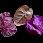Bougainvillea ~ Botanical Still Life
