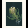 Fresh Mink Protea In Frame