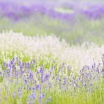 Lavender Field — Ltd Ed Print