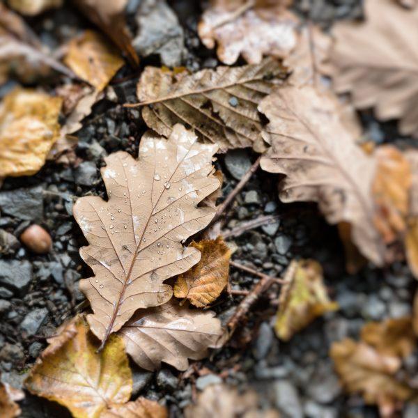 Oak Leaf With Raindrops