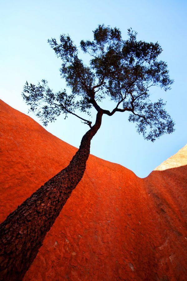 Uluru Tree 600x900