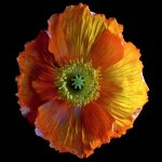 Tangerine Poppy