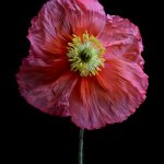Pink Poppy ~ Flower Still Life
