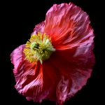Fuchsia Poppy ~ Flower Still Life