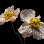 Blush Pink Poppies