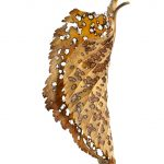 Decayed Leaf ~ Botanical Still Life