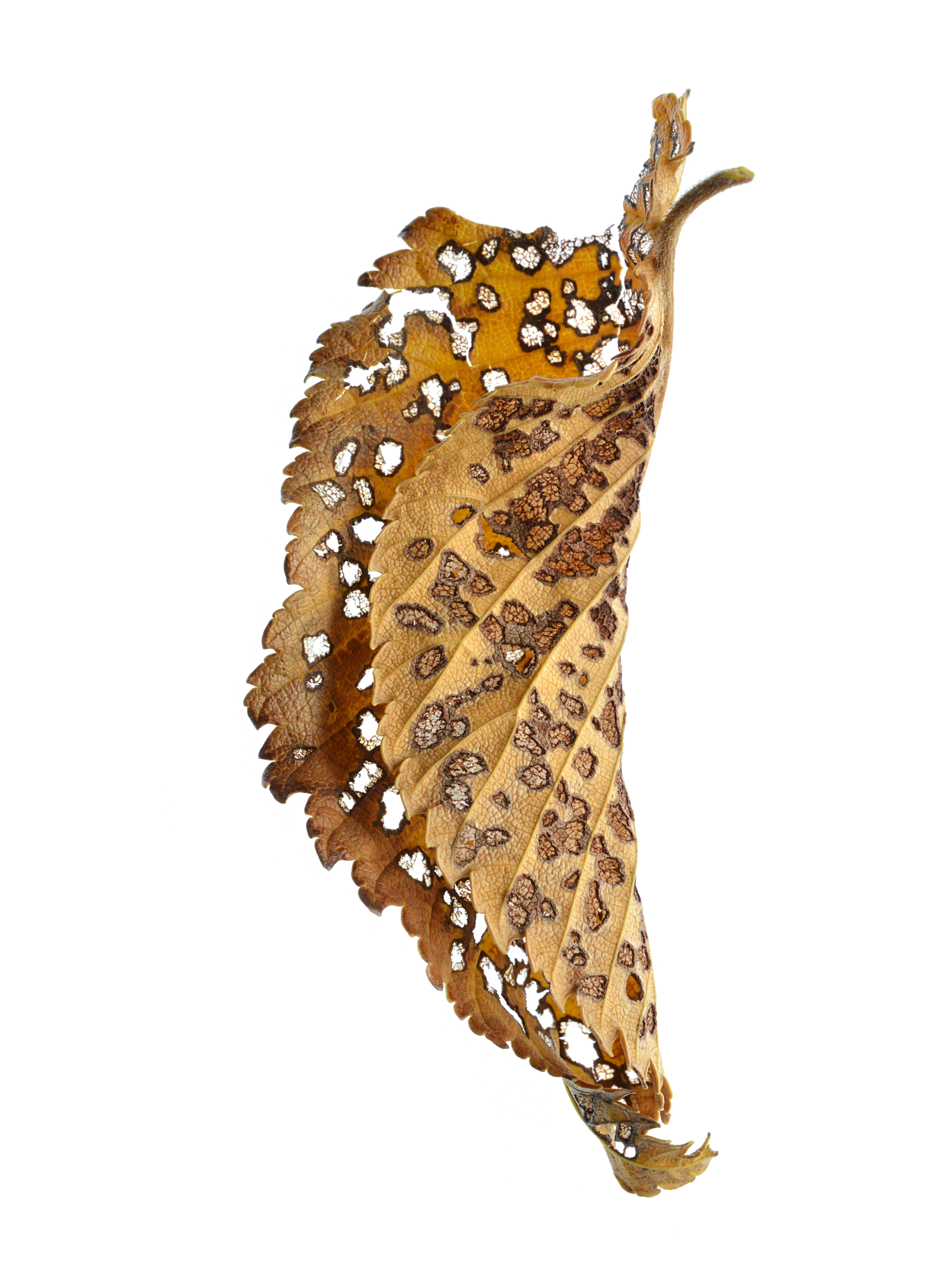 Rustic Leaf 01