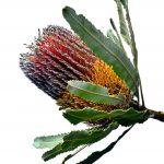 Banksia Menziesii ~ Australian Nature Photography