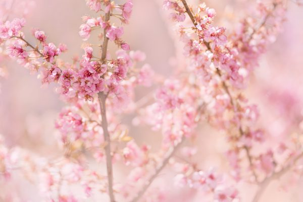 Pink Spring Blossoms 600x401