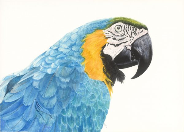 0027 Blue & Gold Macaw