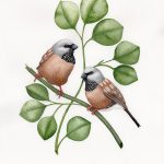 Black Throated Finches