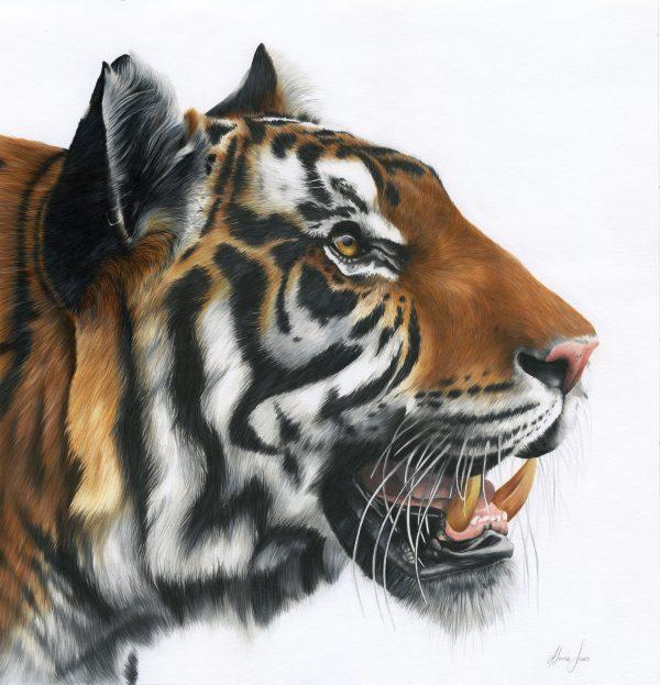 Tiger Resized