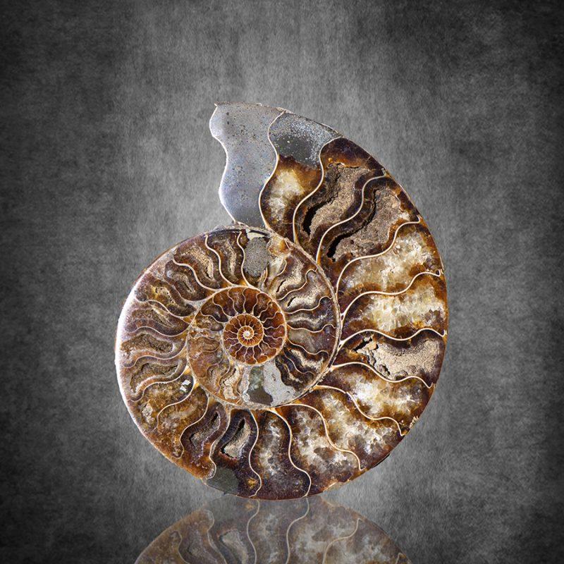 Ammonite938absquare 800x800