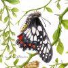 Daintyswallowtail Small Closeup2