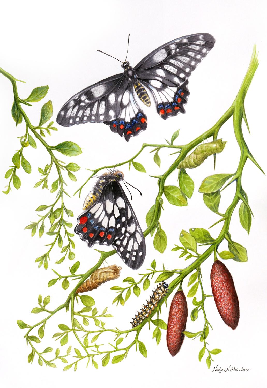 Daintyswallowtail Small Full