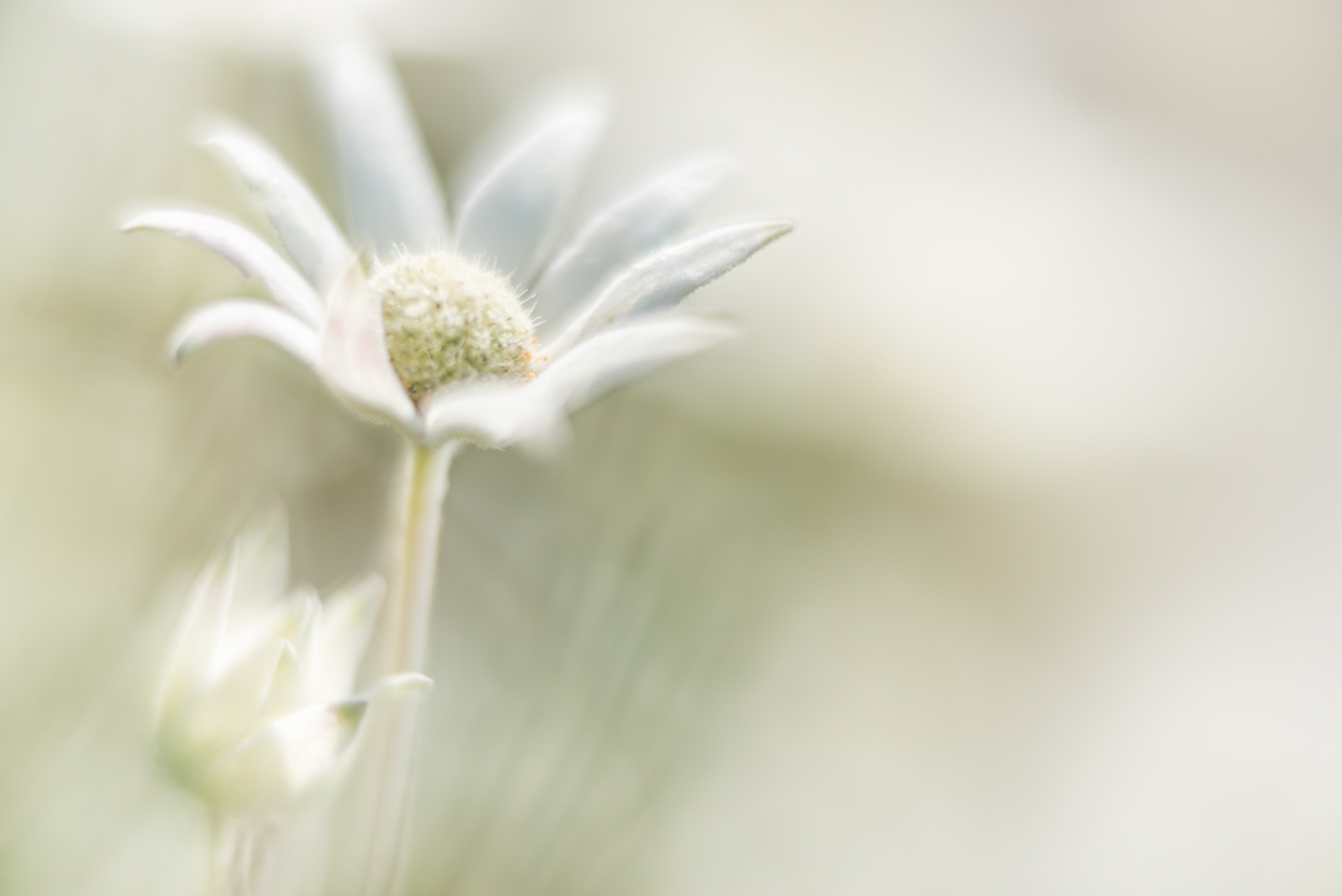 Flannel Flower Dream 2