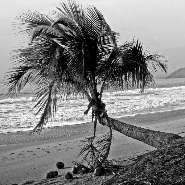 Pcb1017sq The Palm Tree Reduced