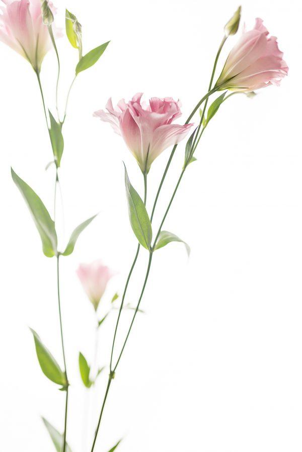 Pink Lisianthus Portrait 2