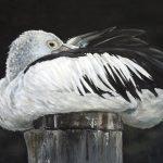 Pelican – Percy's Post
