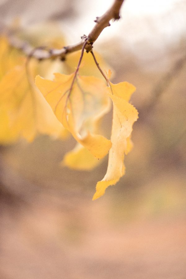 Apricot Autumn Leaves 5
