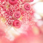 Eucalyptus Blossom Buds 2 — Ltd Ed Print