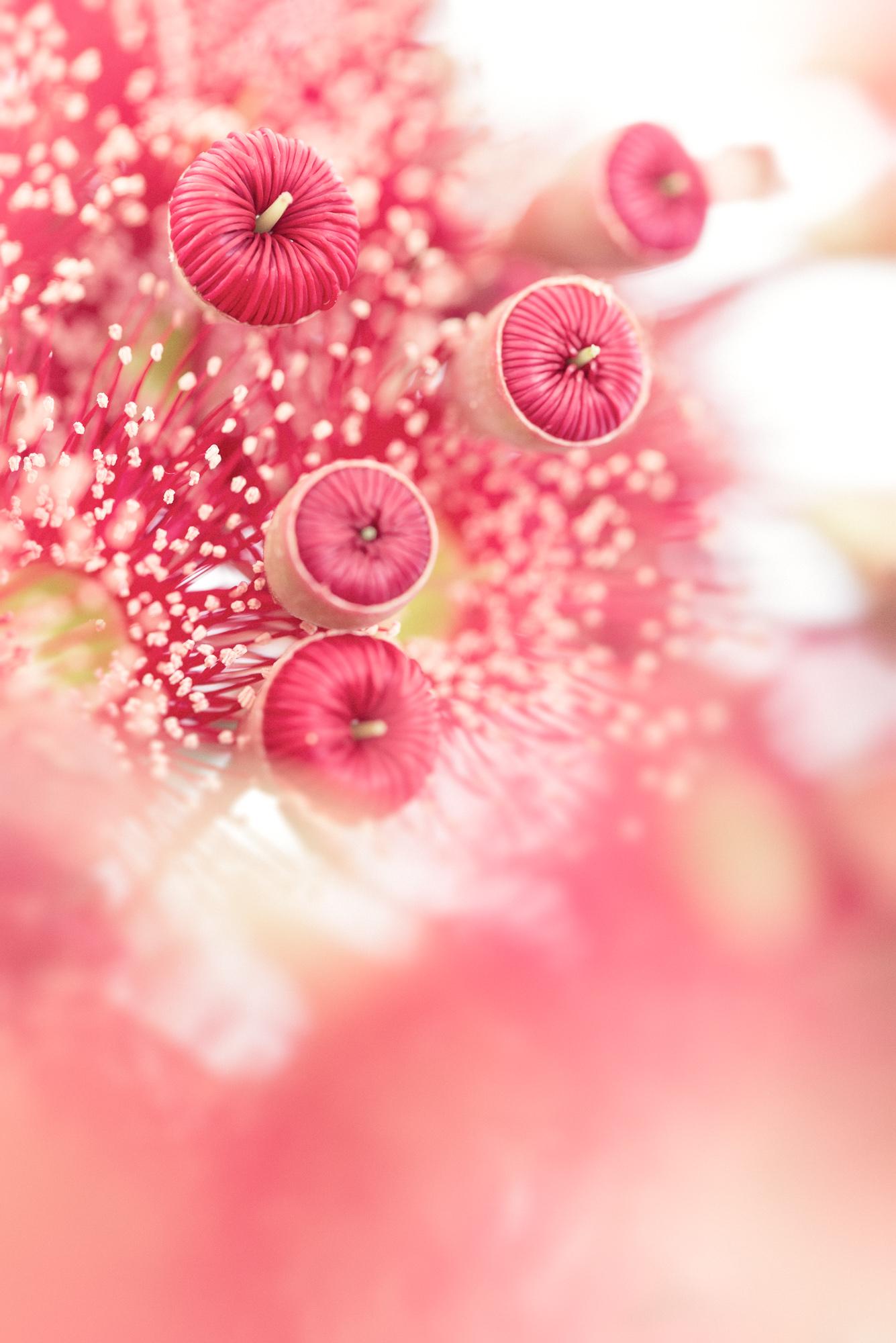 Eucalpyt Blossom Buds 2