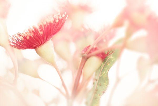 Eucalypt Blossom Study 1