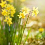 Spring Daffodils — Ltd Ed Print