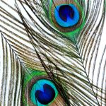 Peacock Feather Eyes