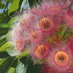 Flowering Gum Ltd Ed Print