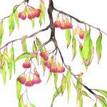 Gum Blossom Drip