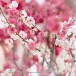 Pink and White Blossom Harmony 2 — Ltd Ed Print