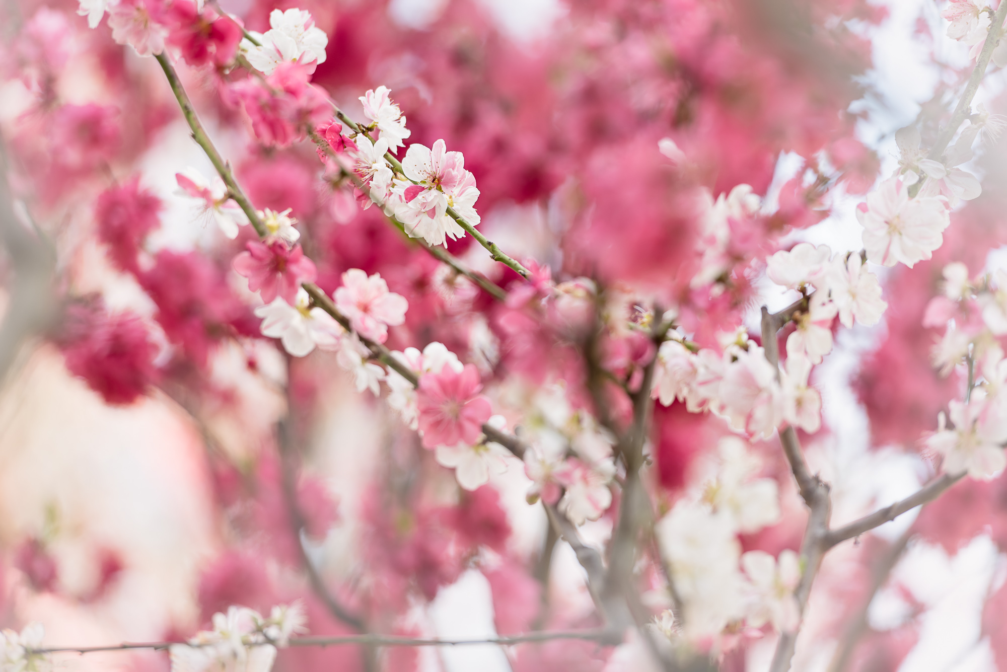 Pink And White Blossom Harmony 2