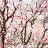 Pink And White Blossom Trees