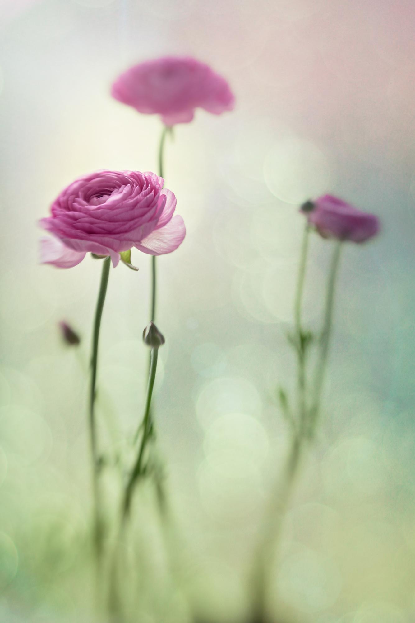 Ranunculus Dream
