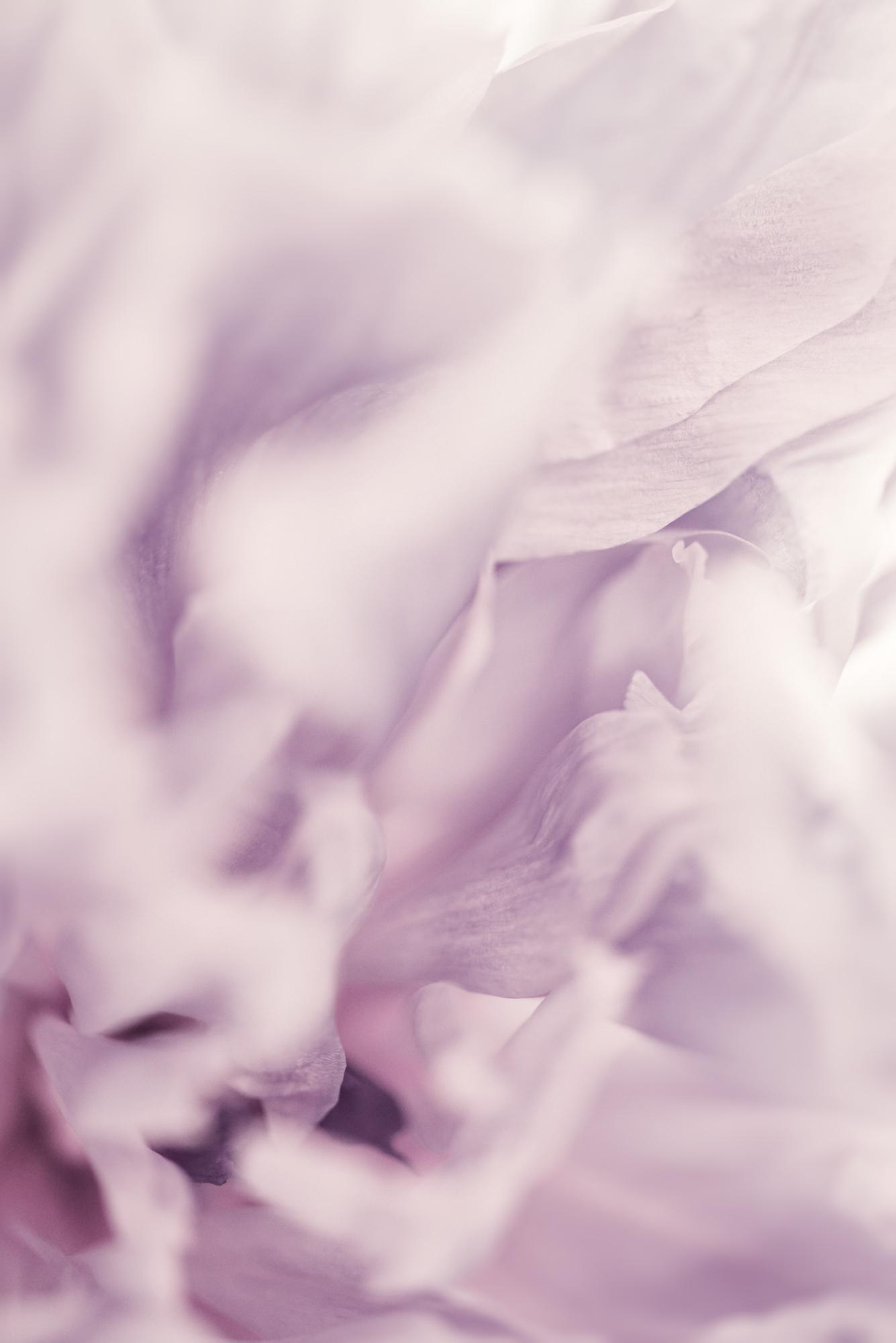 Violet Peony Florascape