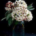 Snowflake – Corymbia Ficifolia