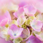 Pink Hydrangeas — Ltd Ed Print