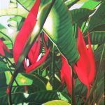 Red Christmas Heliconia