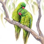 """Lean on Me"" – Scaly-breasted Lorikeets – Ltd Ed Canvas Print"